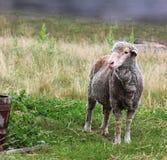 Barnyard Animals. One adult sheep in the barnyard Royalty Free Stock Photo