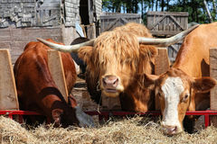 Barnyard Cattle Royalty Free Stock Photo