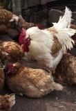 Barnyard Chickens Stock Image