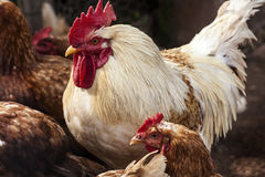 Barnyard Chickens Royalty Free Stock Images