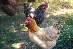 Barnyard Chickens - Poultry. Barnyard Farm Chickens - Chicken Keeping stock photos