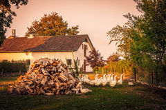 Barnyard with a flock of geese Royalty Free Stock Photos