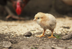 Barnyard funny little chicken walking around the farm yard Royalty Free Stock Photography