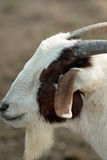 Barnyard goat Royalty Free Stock Photography