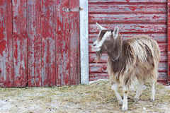 Barnyard Goat I Stock Photography