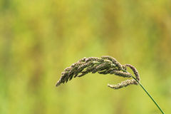 Barnyard grass Royalty Free Stock Image