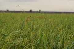 Barnyard Grass,major weed in rice. Barnyard Grass a major weed in rice cause yield lost Stock Photo