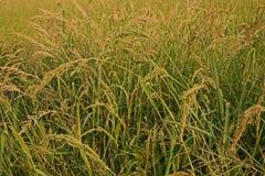 Barnyard Grass weed. Barnyard Grass,major grass weed in rice Royalty Free Stock Image