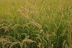 Barnyard Grass weed. Barnyard Grass,major grass weed in rice Stock Images