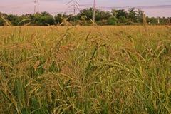Barnyard Grass weed. Barnyard Grass,major grass weed in rice Royalty Free Stock Images