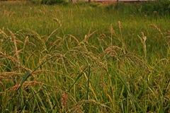 Barnyard Grass weed. Barnyard Grass,major grass weed in rice Stock Photos