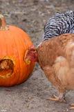 Barnyard Halloween. A couple of barnyard chickens enjoy a pumpkin treat after Halloween royalty free stock image