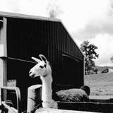 Barnyard Llama Στοκ φωτογραφία με δικαίωμα ελεύθερης χρήσης