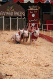 Barnyard pig racers. Pigs racing on the track Royalty Free Stock Photos