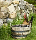 Barnyard Rooster. A barnyard rooster drinking out of a wooden tub Royalty Free Stock Image