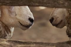 barnyard rozmowa Obraz Royalty Free