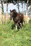 Barock pinto foal on pasturage Royalty Free Stock Photos