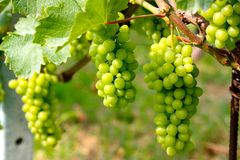 Barolo grapes Stock Photos