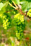Barolo grapes in Italy Royalty Free Stock Photo