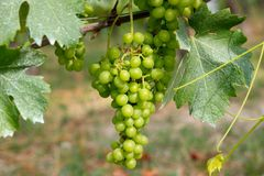 Barolo grapes in Italy Royalty Free Stock Photos