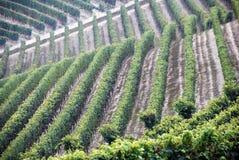 Barolo Weinstockmuster in Italien Lizenzfreies Stockfoto