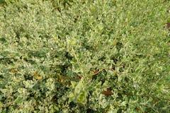 Barometer Bush på suddig bakgrund Grön bakgrund av jordräkningsväxterna Arkivbilder