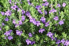 Barometer Bush, of Texas Sage in bloei stock afbeeldingen