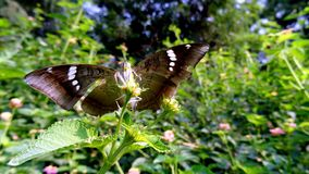 Baron butterfly Royalty Free Stock Images