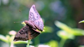Baron butterfly Stock Photography