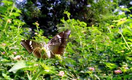 Baron Butterfly Stock Images