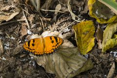 Baronet Butterfly with Open Wings. Resting on some brown leaf litter, this bright orange butterfly with black spots and dots is the Baronet butterfly royalty free stock images