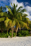 Baros an Maledivian Paradise. This picture is taken at Baros, Maldives and shows its palmtrees Stock Photography