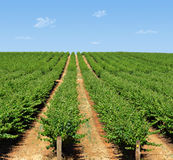 Barossa Grape vines in rows  Stock Images