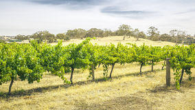 Barossa Valley. An image of the Barossa Valley landscape in Australia Stock Image