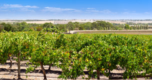Виноградник Barossa Valley Стоковые Фото