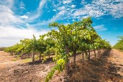 Barossa valley grapevines Stock Photo