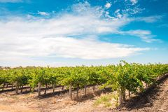 Barossa valley grapevines Stock Images
