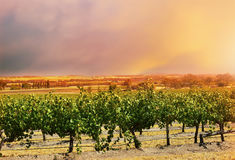 Barossa Valley rows of grape vines. Stock Images