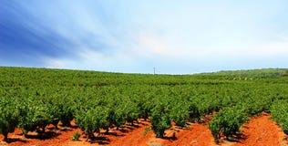Barossa Vineyard. Vineyard with bright orange dirt royalty free stock photography