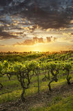 Barossa Vineyards at sunset. Vineyards in the Barossa Valley Australia royalty free stock photography