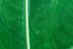 Barré de la feuille verte, le modèle de feuilles est naturellement détaillé occu images stock