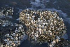 Barra di ostrica sulla spiaggia Fotografia Stock Libera da Diritti