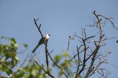 Barra-enfrentado vai afastado o pássaro em Masai Mara fotografia de stock royalty free