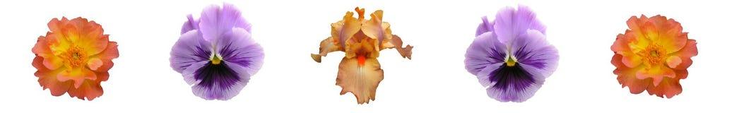 Barra floreale della lavanda di corallo Immagine Stock Libera da Diritti