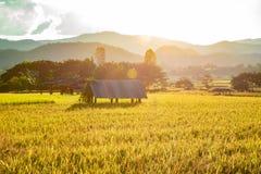 Barraca simples no campo do arroz com para trás-iluminação fotografia de stock