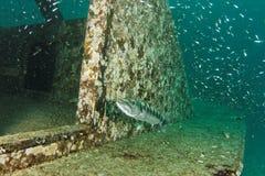 Barraccuda on a wreck - Andaman Sea Stock Image