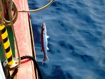 Barracuda σε έναν γάντζο Στοκ Εικόνα