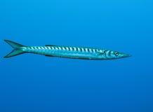 Barracuda Imagen de archivo libre de regalías