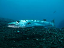 barracuda Zdjęcie Stock
