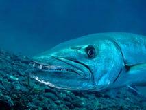barracuda zdjęcia stock